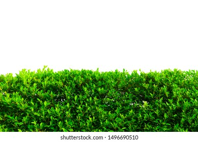 Green grass isolated on white background, Isolated green hedge bush fence on white background.