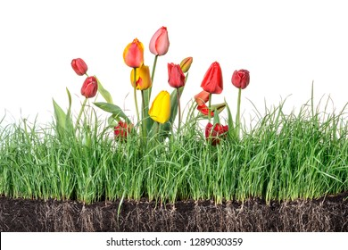 Green grass isolated with tulips flower and roots on white background
