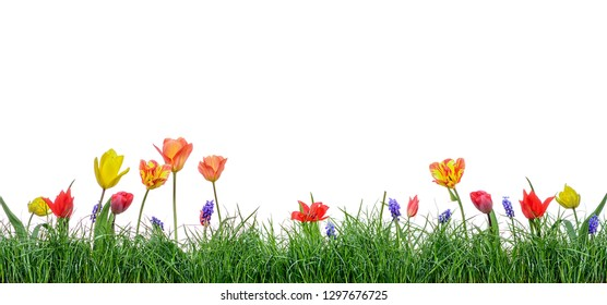 Green grass isolated with tulips flower on white background