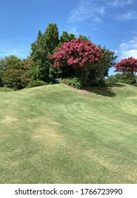 Green grass landscape with pink crepe myrtle trees in bloom