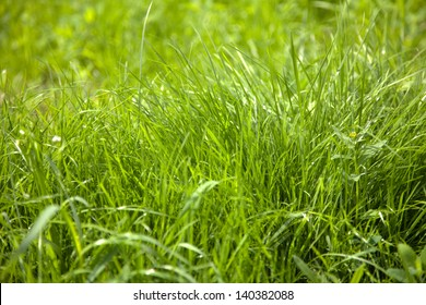 green grass in lawn background