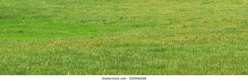 Green grass or lawn background or texture