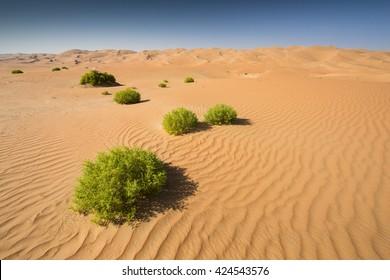 Green grass in Liwa Desert, Abu Dhabi, UAE