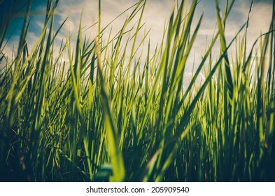 Green grass meadow field in the rice field Thailand background vintage