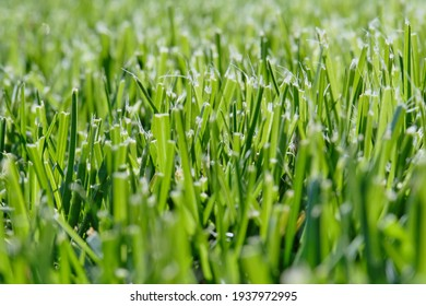 Green grass. Mowed lawn. Close-up. After the lawn mower.
