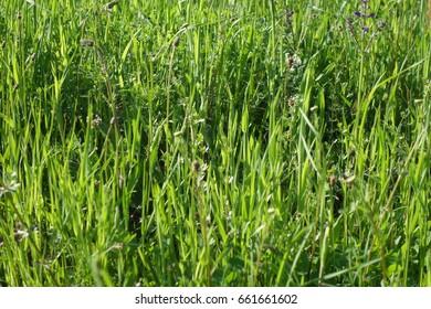 Green grass natural background texture. Transcarpathia