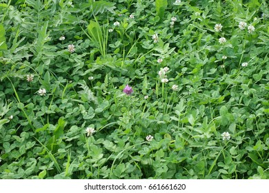 Green grass natural background texture. Transcarpathia