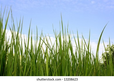 Green grass on a background of the blue sky with white clouds.