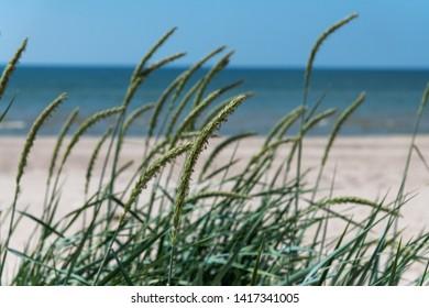 Green grass on Baltic sea beach near Liepaja, Latvia.