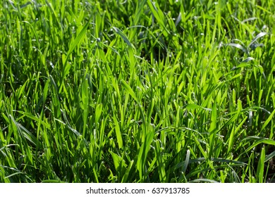 Green grass on a meadow at bright summer day. Natural background.
