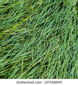 Green grass on a meadow in a village covered with raindrops. Spring season.