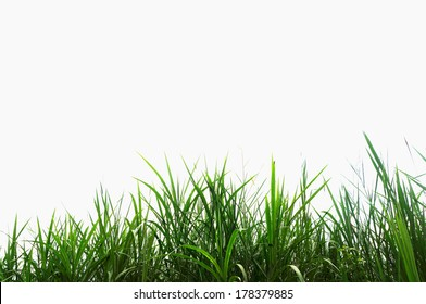 green grass on a white background, isolated