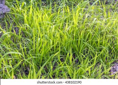 Green grass in the open field.