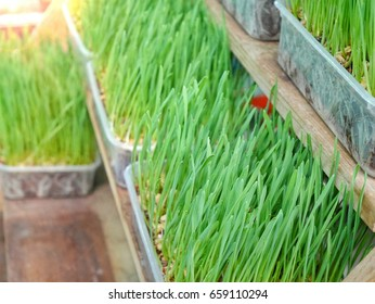 green grass in the pots for food to animals with light background