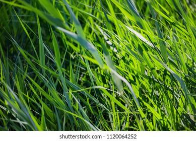 Green grass reed phragmites fresh leaves