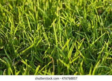 Green grass of reflect sunlight.