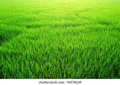 Green Grass rice field