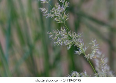 green grass seed heads bent over by the wind