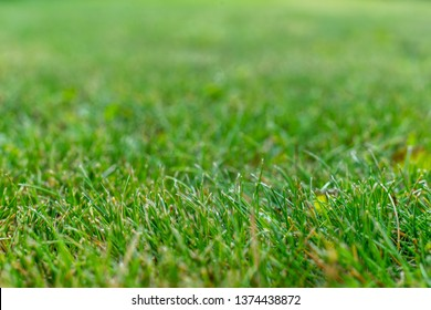 Green grass soft focus macro photo