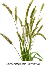 Green grass with spikelets isolated on white background