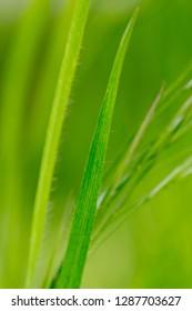 green grass stalk