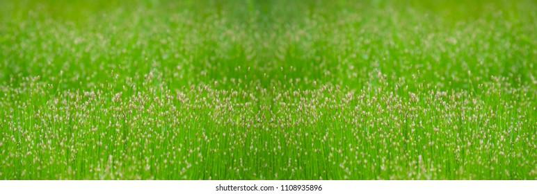 Green Grass in Summer