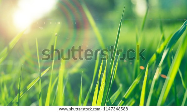 Green grass, sunlight, macro, blur background bokeh, cover