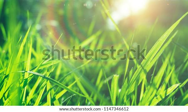 Green grass, sunlight, macro, blur background bokeh, cover