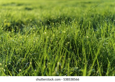 green grass at sunrise in on the meadow