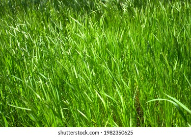 green grass swaying in the wind - Shutterstock ID 1982350625