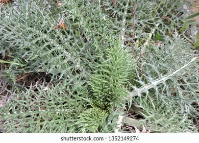 GREEN GRASS  IN TANGER MED  JUNGEL IN MOROCCO