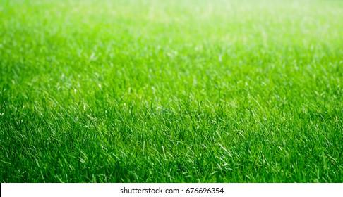 Green grass texture for background. Grass field.