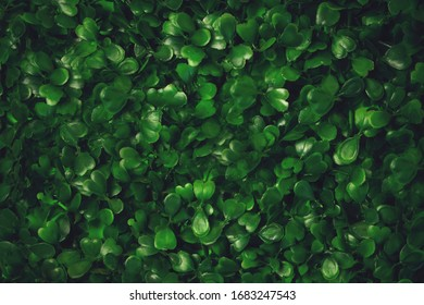 Green grass texture background. Starweed -winterweed, chickweed, satinflower, Stellaria media- plants. Good green leaves. Green background. Texture.