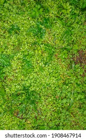 Green grass texture background. Starweed (winterweed, chickweed, satinflower, Stellaria media) plants. Top view