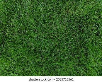 Green grass texture background. Uncut grass.