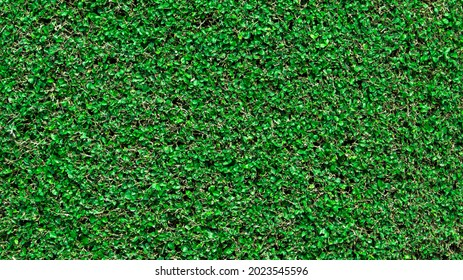 Green grass wall texture for backdrop design, natural green wall trimmed by gardener.