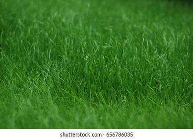 Green grass walpaper for background