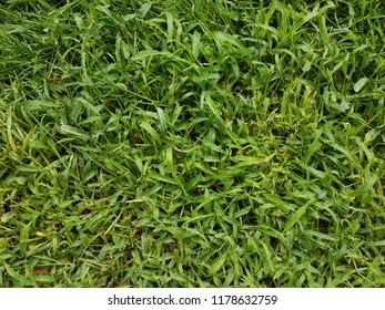 green grass yard or lawn up close