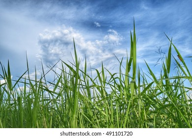 Green grasses filed with blue sky as a background