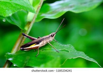 Green grasshoper perching on leaf