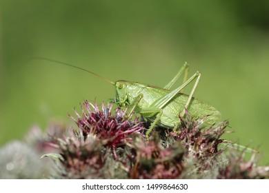 green grasshopper closeup. He eats a lot, glutton. Little green creature