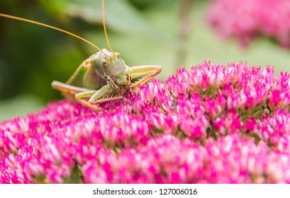 Green grasshopper eating from a pink flower.
