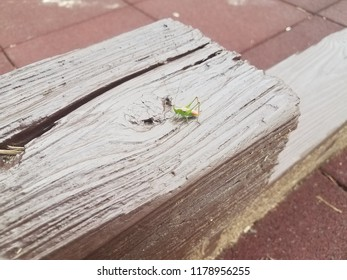green grasshopper insect outdoor on brown wood