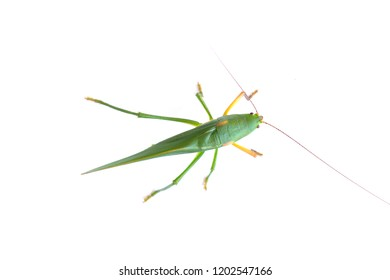 Green grasshopper isolated, green insect with white background