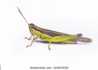 Green grasshopper isolated on white background with clipping path