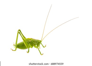 Green grasshopper isolated on a white background