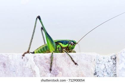 Green grasshopper or locust macro shot on a outdoor terrace. Green insect outside in mediterranean climate - Adriatic sea - Silba Croatia.