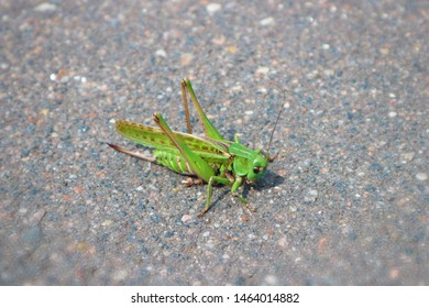 A green grasshopper or locust sits on the asphalt. Dedicated focus with shallow depth of field.