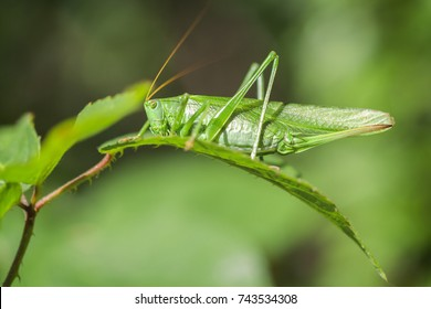 Green grasshopper - macro shot