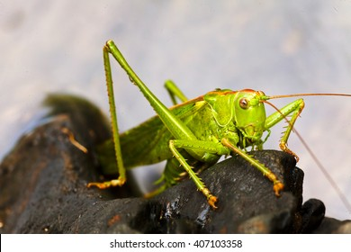 Green grasshopper on black gravel on pond bank; note shallow depth of field